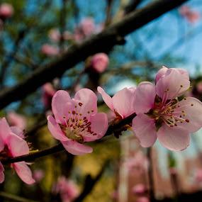 by Gabriela Gabriella - Flowers Tree Blossoms