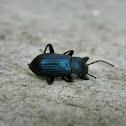 Bembidion ground beetle