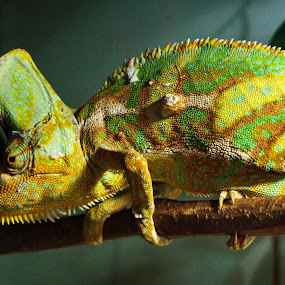 Chameleon by Ajay Sharma - Animals Reptiles