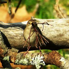 House Wren Nest Building by Erika  Kiley - Novices Only Wildlife ( bird, wren, nest, twig, brown )