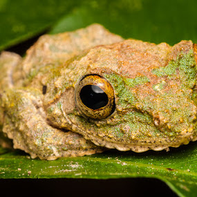 Frog by Ramlan Abdul Jalil - Animals Amphibians