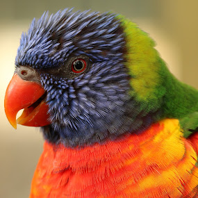 Lorikeet by Ralph Harvey - Animals Birds ( bird, wildlife, ralph harvey, longleat, lorikeet )
