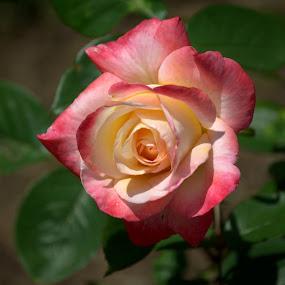 Single Beauty by Larry Bidwell - Flowers Single Flower