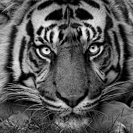 Mean and Moody by Pat Hartley - Animals Lions, Tigers & Big Cats
