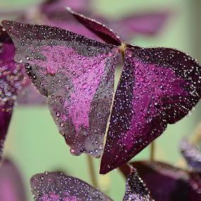 Purple flower by Roman Kolodziej - Nature Up Close Flowers - 2011-2013 ( water, purple, drops, leaves, flower,  )