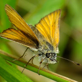 Essex Skipper by Pat Somers - Animals Insects & Spiders