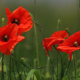 Poppy by Christian Wilen - Flowers Flowers in the Wild ( cirre1,  )