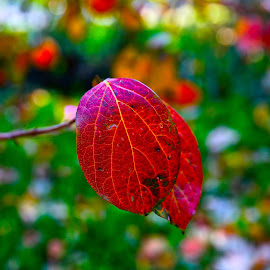 2 red leaves by Fabrizio Reali - Nature Up Close Leaves & Grasses ( canon, nature, autumn, colors, leaves, close up )
