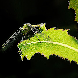 Shades of green by Gaylord Mink - Nature Up Close Other Natural Objects ( plant\, leave, dragonfly )