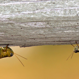 grasshopper size-up by Rita Flohr - Novices Only Wildlife ( fence, macro, grasshoppers, insects, bokeh,  )
