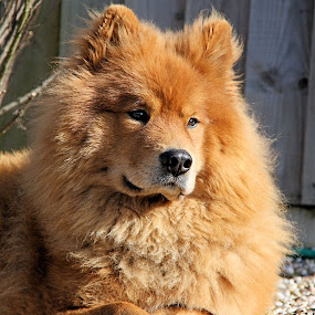 Louis 2 by Val  Ford - Animals - Dogs Portraits ( spitz dog, eurasier dog, ginger dog, red dog, sunlight, close-up )