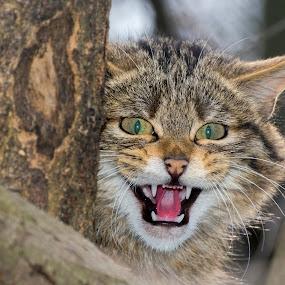 Wild Look by Lajos E - Animals Other Mammals ( wild, cat, felidae, threathen, carnivores, forest, felid, silvestris, portrait, eyes, felis, european, tree, menace, head, carnivora,  )