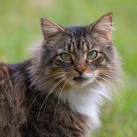 Little Max by Lynn Kohut - Animals - Cats Portraits ( cat, pet, maine coon,  )