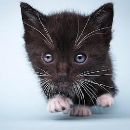 on the move by Eric Christensen - Animals - Cats Kittens ( kitten, tuxedo, blue, white, black )
