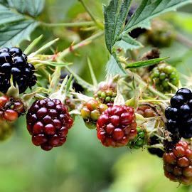 Blackberries by Heather Aplin - Nature Up Close Gardens & Produce
