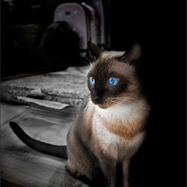 Siamese Cat by Dries Fourie - Animals - Cats Portraits