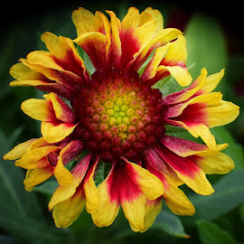 Gaillardia by Millieanne T - Flowers Single Flower