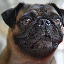 Pug by Sam Song - Animals - Dogs Portraits