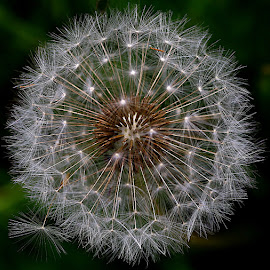 Starry by Chrissie Barrow - Nature Up Close Other plants ( plant, circular, wild, dandelion, round, seeds, closeup, seedhead )
