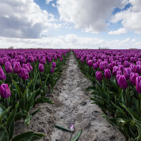 Purple Tulips by Merina Tjen - Lim - Flowers Flower Gardens ( field, purple, bulb, tulip, flowers )