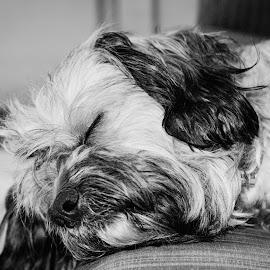 by Mihai Bancila - Animals - Dogs Portraits