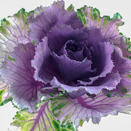 purple and green  by Peter Schoeman - Instagram & Mobile iPhone ( plant, purple, cabbage, green, leaves, flower )