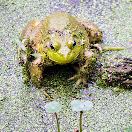 Green Frog & Duckweed by MaryKathryn Zuza - Animals Amphibians ( duckweed, frog, green, green frog, amphibians, pond )