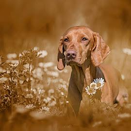 Awa Greta od Nupacke tvrze by Rado Ratic - Animals - Dogs Portraits ( monochromatic, colors, vizsla, awa greta od nupacke tvrze )