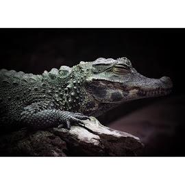 Sleepy Croc @paigntonzoo by Karyn Easton - Animals Reptiles ( crocodile, crocs, croc, nature, macro, everything_imaginable, imageoftheday )