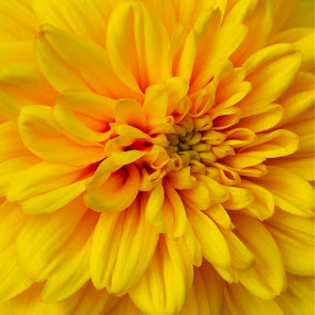 Canon EOS 7D by D. Bruce Gammie - Nature Up Close Flowers - 2011-2013 ( petals, yellow, close up, yellow flower, flower )