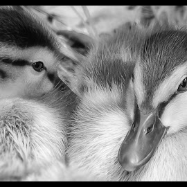 Ducklings by Dave Lipchen - Black & White Animals ( ducklings, black and white )
