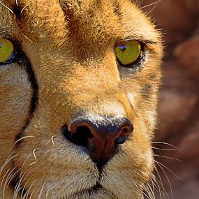 a really Big cat by Danny Bruza - Animals Lions, Tigers & Big Cats