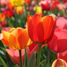 Tulips in the sun by Carola Mellentin - Flowers Flower Gardens (  )