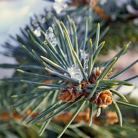 jehličí a led  by Vláďa Lipina - Nature Up Close Other plants
