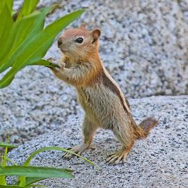 Golden Mantle Ground Squirrel by Jim Powell - Animals Other Mammals ( golden mantle ground squirrel )