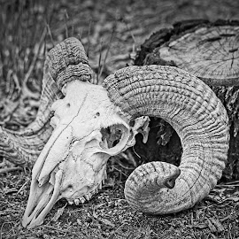 Ram's Head by Eugene Dopheide - Black & White Objects & Still Life ( skull, horns, sheep )