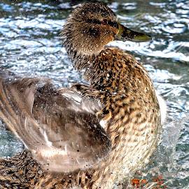 Duck by Amol Polke - Animals Birds ( bird, zoo, duck, nice, shower )