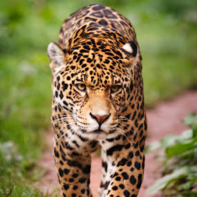 Jaguar - Wildlife photography by Pete Barnes.jpg