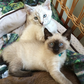 Riley and Shay by Pam Arvidson - Animals - Cats Kittens ( fuzzy, blue eyes, fur babies, kittens, kitty )