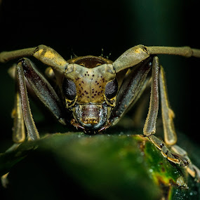 Longhorn beetle by Maskun Ramli - Animals Insects & Spiders