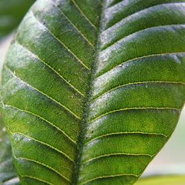 plumeria leaves by LADOCKi Elvira - Nature Up Close Other plants