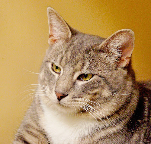 Weston the Shelter Cat by Elaine Tweedy - Animals - Cats Portraits