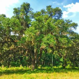live oak in SC by Rebecca Popelars Turner - Landscapes Forests ( large tree, tree, oak, green, forest, live oak, south carolina )