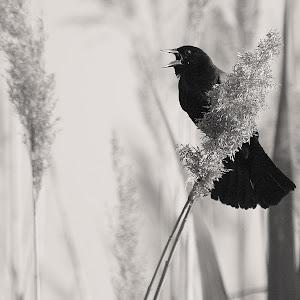 Red winged black bird in B & W sharpened cropped.JPG