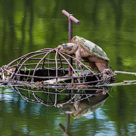 Help I'm stuck !!! by Michael Wolfe - Animals Reptiles ( water, snapping turtle, sticks, reptile, pond, turtle, iron grate,  )