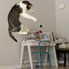 I believe I can fly by Matt Johnson - Animals - Cats Playing ( animals, cat, crazy, pets, high, jump )