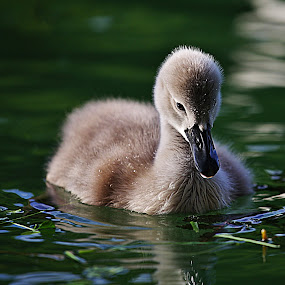 The ugly duckling by Nicu Buculei - Animals Birds ( water, animals, swan, birds,  )