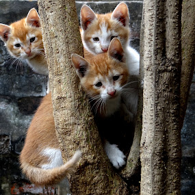 Three Musketeers by Subrata Sarkar - Animals - Cats Playing ( playing, cats, nature )