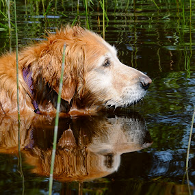 Water Dog Reflections by Sandra Updyke - Animals - Dogs Portraits ( dog reflections, toby, reflections, dog, golden retriever )