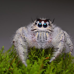 white phiddipus by Tele Nicotin - Animals Insects & Spiders ( macro, jumping, spidet, phiddipus, insect )